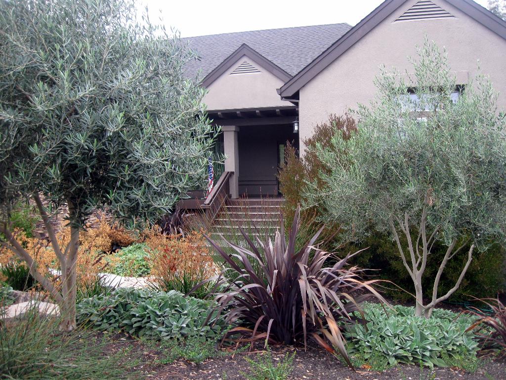 Plives, new zealand flax, kangaroo paw and lambs ear grace this Healdsburg front yard.