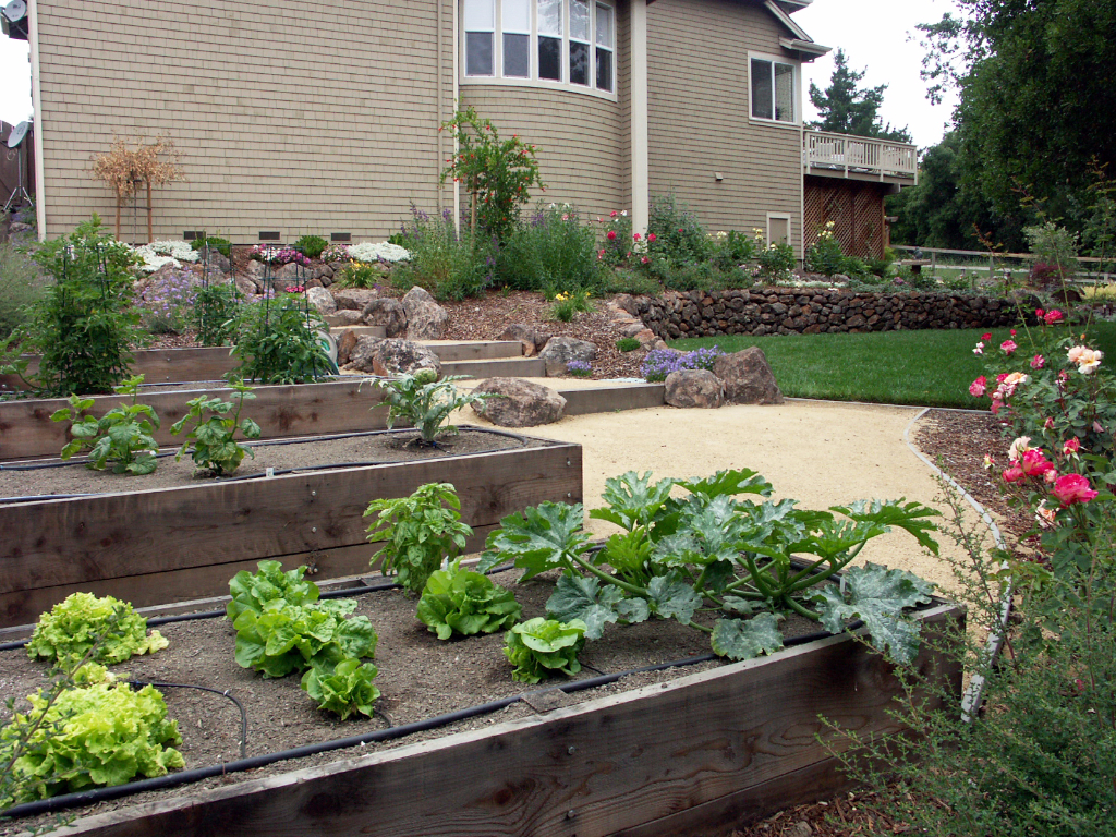 Beautiful backyard garden with wooden veggie beds in Sonoma County